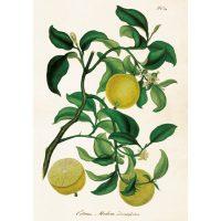 Vintage poster citrus, 35*50 cm – Sköna ting