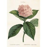 Vintage poster hortensia – Sköna ting