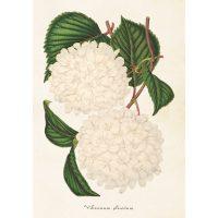 Vintage poster japansk snöbollsbuske