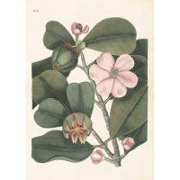 Poster clusia rosea 50*70 cm – Sköna ting