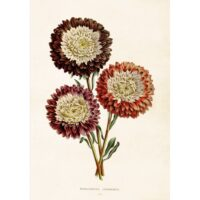 Sköna Ting – Vintage Poster Chrysanthemum 35×50 cm