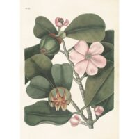 Vintage Poster Clusia rosea 50×70 cm