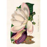 Sköna Ting – Vintage Poster Magnolia 50×70 cm