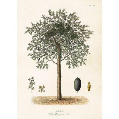 olivträd poster